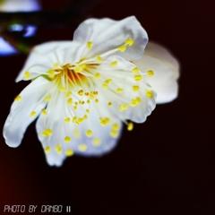 白盆梅 <1>