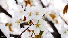 一番好きな桜 <1>