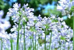 薄紫色の花畑