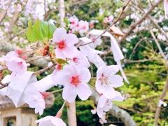 桜みんなの想い