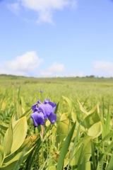 雨竜沼湿原のお花