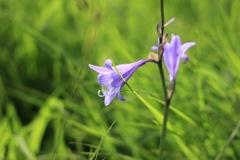 雨竜沼湿原のお花②