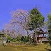 相頓寺 枝垂れ桜