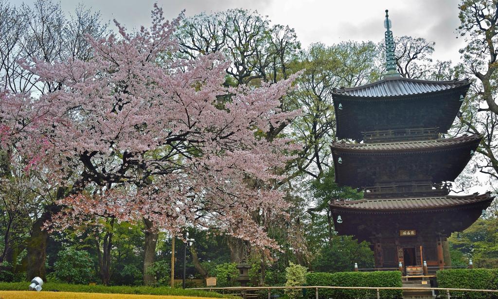 ホテル椿山荘東京の桜 (3)