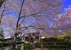 桜でお出向かい