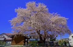 神明神社 桜の大木