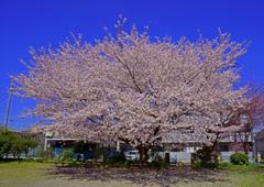 滝宮公園の桜