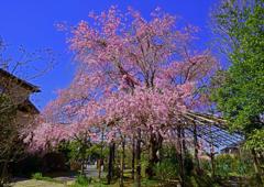 十連寺枝垂れ桜