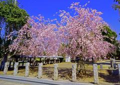 八合神社 枝垂れ桜