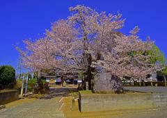 放光院の桜の大木
