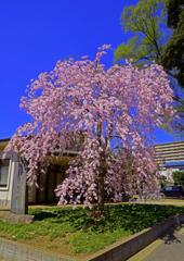 谷津観音堂の枝垂れ桜