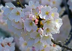 咲き始めたばかりの桜の葉