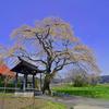 寺&雪山&枝垂れ桜