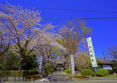 東栄寺の桜の玄関