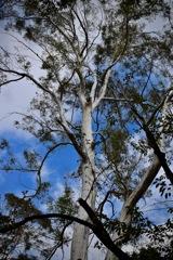 白い樹木と青い空