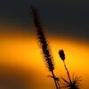 夕陽のエノコロ