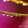 雨上がりのコスモス