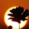 夕陽のコスモスシルエット