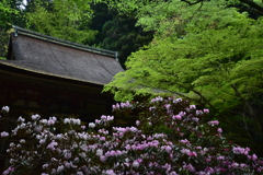 石楠花の咲く寺