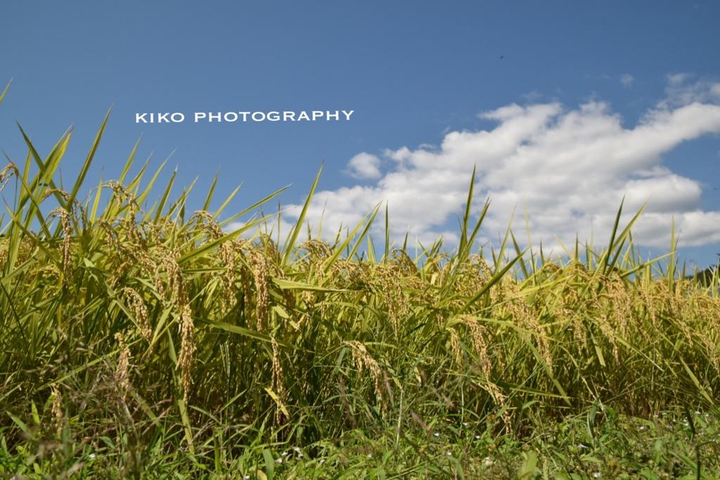 *.+゚キヌヒカリ収穫...♪*゚