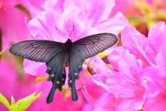 ツツジと蝶3