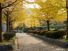 木場公園のイチョウ並木
