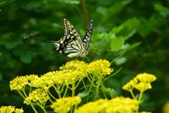オミナエシ「女郎花」とアゲハ蝶・3