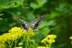 オミナエシ「女郎花」とアゲハ蝶・2