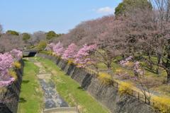 満開の風景・昭和記念公園
