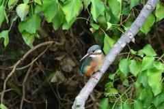 野鳥の島・カワセミ2