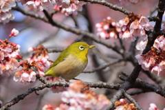 寒桜・メジロ2