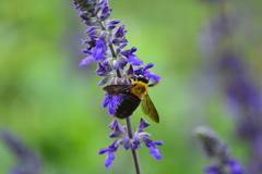 メドーセージとクマバチ