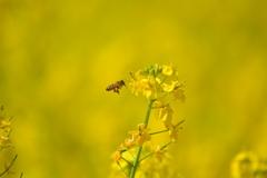 菜の花とハチミツ