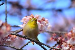 寒桜・メジロ