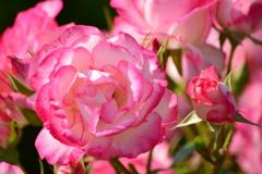 木場公園のバラ