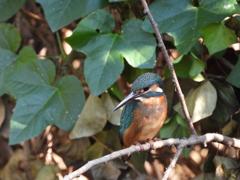 10月の野鳥の島・カワセミ