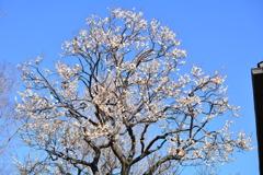 八重野梅の全景