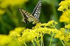 オミナエシ「女郎花」とアゲハ蝶