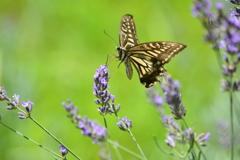 セージとアゲハ蝶