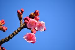 河津桜・木場公園