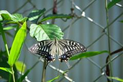 大きく広い翅