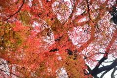 大木の映り込む紅葉
