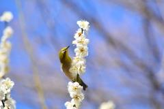 猿江恩賜公園の白梅