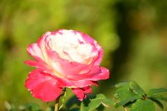 木場公園の緑化のバラ