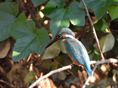 10月の野鳥の島・カワセミ・2