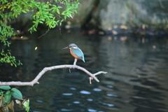 親水公園・カワセミ