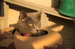火鉢に入る猫