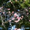 大宮公園の梅