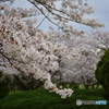 浦和 桜草公園のソメイヨシノ 06