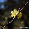 大宮公園の蝋梅